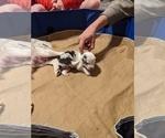 Small #6 Miniature Australian Shepherd