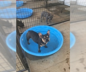 Mother of the French Bulldog puppies born on 02/04/2019