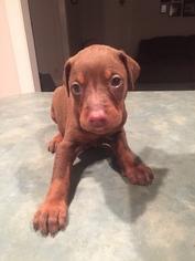 Doberman Pinscher Puppy for sale in MADISON, IN, USA