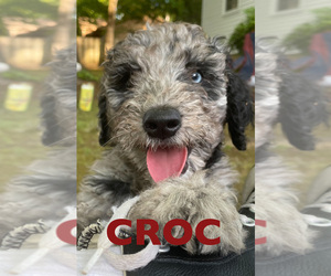 F2 Aussiedoodle Puppy for Sale in CHAPEL HILL, North Carolina USA