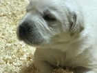 Labrador Retriever Puppy For Sale in SOUTH EASTON, MA,