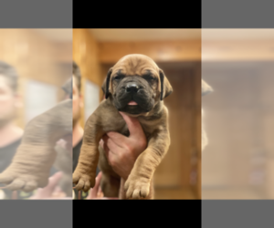 Boerboel Puppy for Sale in THREE RIVERS, Michigan USA