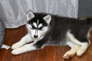 View Ad Artic Timber Husky Mix Puppy For Sale California Los