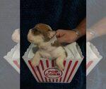 Puppy 7 English Bulldogge