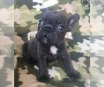Small #40 French Bulldog
