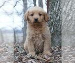 Puppy 5 Golden Retriever