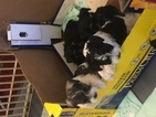Schnauzer (Miniature) Puppy For Sale in TELLICO PLAINS, TN,