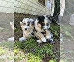 Small #2 Australian Shepherd-German Shepherd Dog Mix