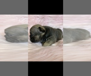 French Bulldog Puppy for Sale in HIGHLAND, California USA