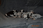 Australian Cattle Dog Puppy For Sale in AMBOY, WA,