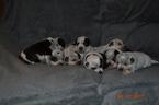 Australian Cattle Dog Puppy For Sale in AMBOY, WA, USA