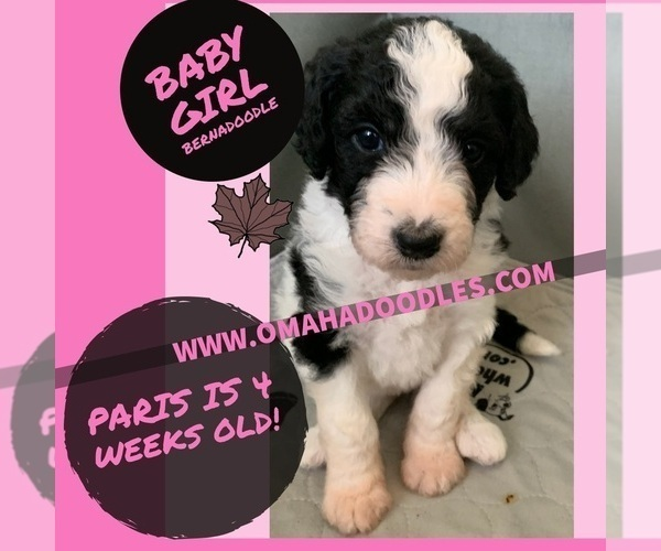 Medium Photo #1 Bernedoodle Puppy For Sale in OMAHA, NE, USA