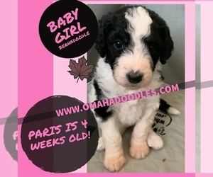 Bernedoodle Puppy for sale in OMAHA, NE, USA
