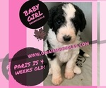Small Photo #1 Bernedoodle Puppy For Sale in OMAHA, NE, USA