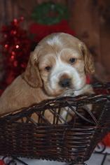 Cocker Spaniel Puppy For Sale in MOULTON, IA, USA
