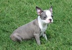 Boston Terrier Puppy For Sale in CLEMENTS, MD, USA
