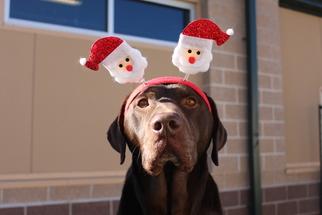 Simon - Labrador Retriever (medium coat) Dog For Adoption