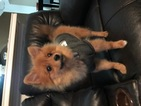 Pomeranian Puppy For Sale in ANNA, TX, USA