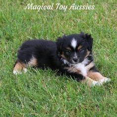 Miniature Australian Shepherd Puppy For Sale in BYRON, NY, USA