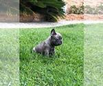 Image preview for Ad Listing. Nickname: blue frenchie