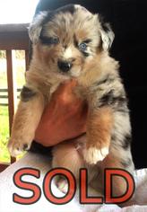 Australian Shepherd Puppy For Sale near 97378, Sheridan, OR, USA