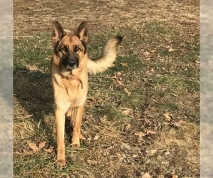 Mother of the German Shepherd Dog puppies born on 04/15/2019