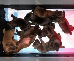 Boerboel Puppy for sale in WATERFORD, CA, USA