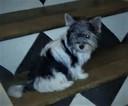 Biewer Yorkie Puppy For Sale in FAIRFIELD, OH
