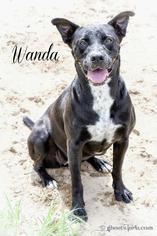 Wanda - Labrador Retriever Dog For Adoption