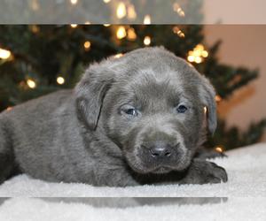 Labrador Retriever Puppy for Sale in CINCINNATI, Ohio USA