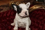 French Bulldog Puppy For Sale in CLACKAMAS, OR