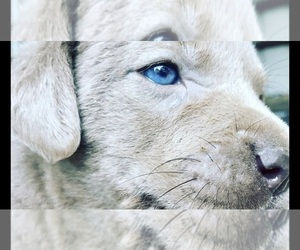 Labrador Retriever Puppy for sale in DEVINE, TX, USA