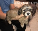 Schweenie Puppy For Sale in SUGAR LAND, TX, USA