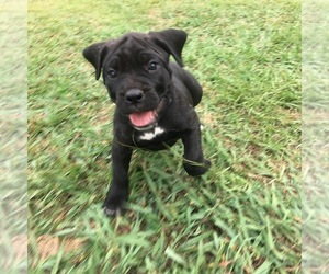 Cane Corso Puppy for Sale in LIBERTY, South Carolina USA