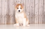 Pomsky Puppy For Sale in MOUNT VERNON, OH, USA