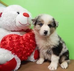Australian Shepherd Puppy For Sale in HAMMOND, IN
