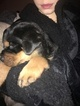 Rottweiler Puppy For Sale in ALTA, California,