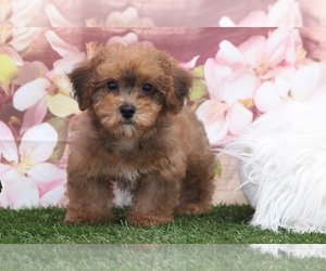 YorkiePoo Puppy for sale in MARIETTA, GA, USA
