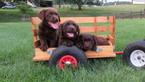 Labrador Retriever Puppy For Sale in DAYTON, VA, USA