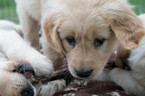 Puppy 7 Golden Retriever