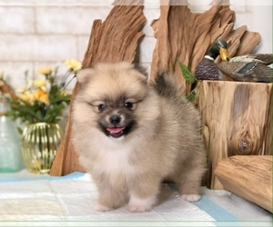 Pomeranian Dog for Adoption in SEATTLE, Washington USA
