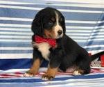 Small #6 Bernese Mountain Dog