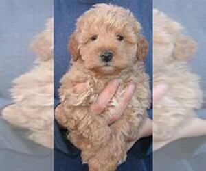Schnoodle (Miniature) Puppy for sale in ANN ARBOR, MI, USA