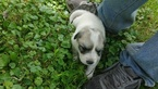 Great Pyrenees Puppy For Sale in MONSON, MA,