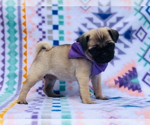 Pug Puppy for sale in CLAY, PA, USA