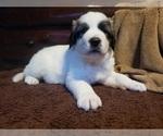 Puppy 1 Anatolian Shepherd-Maremma Sheepdog Mix