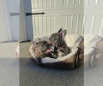 Small Photo #2 French Bulldog Puppy For Sale in CLACKAMAS, OR, USA
