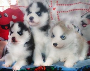 Siberian Husky Puppy for sale in LOS ANGELES, CA, USA