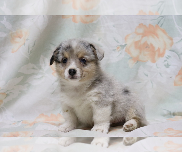 Full screen Photo #2 Pembroke Welsh Corgi Puppy For Sale in SHILOH, OH, USA
