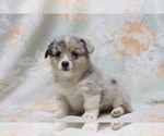 Small Photo #2 Pembroke Welsh Corgi Puppy For Sale in SHILOH, OH, USA